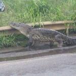 escapan cocodrilos