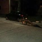 Cocodrilos escapan de la laguna, pasean por las calles de noche