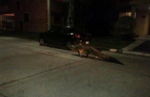 Tampico Tamaulipas escapan cocodrilos